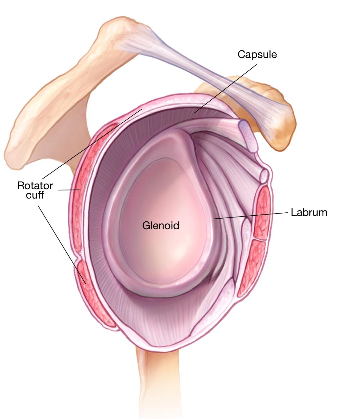 Ziemlich Hip Labrum Anatomy Zeitgenssisch Menschliche Anatomie